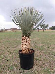 YUCCA ROSTRATA / Blue Beak - Plant / Cactus / Cacti #Y21-011
