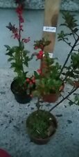 Holly 3 red berried ilex