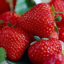 strawberry - STRAWBERRIES, Everbearing - 10 LIVE PLANTS!  GroCo USA