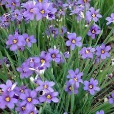 Blue Eyed IRIS ERBA 50 semi-Fioritura erba, masse di fiori blu