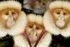 Species Orchid Dracula saulii Bloom Size Monkey Face Flowers FREE PHYTOSANITARY