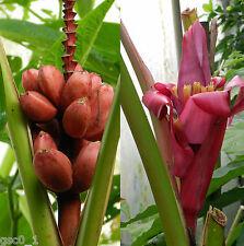 Musa velutina, Velvet Pink Banana Rosa, Zwergbanane, Banane, Platano - 12 Seeds