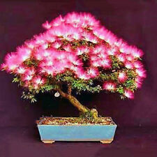 20 pcs/bag Acacia tree seeds bonsai flower seed Perennial indoor plant for home