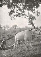 D0893 Umbria - Contadino ara con i buoi - Stampa d'epoca - 1926 old print