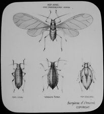Glass Magic Lantern Slide HOP APHIS C1890 DRAWING INSECT