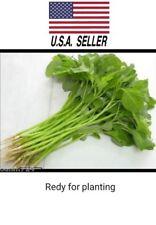 200O++ Seeds organic Green Spinach Amaranth Asian Vegetable NON-GMO heirloom !