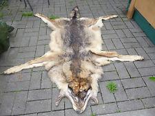 Präparat Tier Altpräparat Wolf Wolfsfell Karpatenwolf mit Herkunftsnachweis VMG