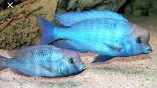 "(2)Blue Moorii Dolphin 1-1.5"" African Cichlid Live Tropical Aquarium Fish"