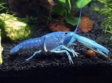 Electric  Blue Crayfish Buy 2 Get 1 Free  crawdad crawfish lobster FAST Shipping