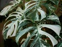 Palm Tree Turtle Leaves Monstera Variegated 100 Seeds Rare Tree Mixed Color