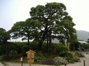 Japanese Black Pine, Pinus thunbergiana, Tree Seeds (Bonsai, Hardy Evergreen)