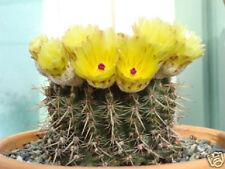 Notocactus submamulosus @ parodia globular flowering rare cactus  seed 100 SEEDS