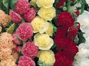 Flower Hollyhock Summer Carnival Mix - 300 seeds