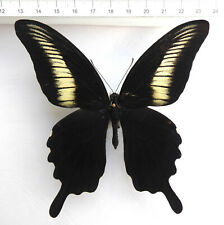 Papilio oenomaus  Männchen ex Timor-Isl., Indonesien  No.26