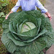 RARE! 200pcs graines de chou géant russe graines de légumes de haute qualit L0M1