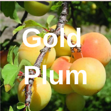 "3 Gold PLUM YELLOW FRUIT TREE Cutting Rooting Grafting Scion GOLDPLUM 10-12"""