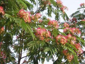 50 Samen Seidenbaum Albizia julibrissin Schlafbaum