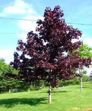 Norwegian Acer Crimson King 9L Pot Acer Platanoides Fast Growing