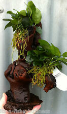 Jungle Tree Anubias Nana Mbuna Med Tropical Live Aquarium Plant  *STUNNING *java