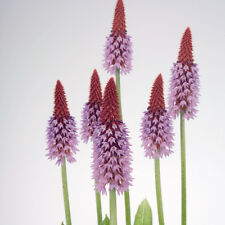 Kings Seeds - Primula Vialii - 175 Seeds