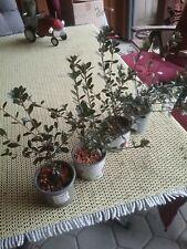 Bonsai - Jap. Satsuki Azalee,  Jungpflanzen 4 Stück