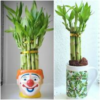 "7 LUCKY BAMBOO Stalks 4"" and 6"" Indoor Plants, Feng Shui, GIFT, Free Shipping"