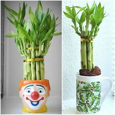 """7 LUCKY BAMBOO Stalks 4"""" and 6"""" Indoor Plants, Feng Shui, GIFT, Free Shipping"""
