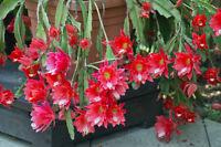 Lange herabhängende Triebe mit großen roten Blüten: die tolle Blattkaktee.
