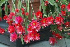 Exot Pflanzen Samen exotische Saatgut Zimmerpflanze Kaktus Kakteen BLATT-KAKTEE