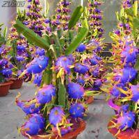100Pcs Hylocereus Blue Dragon Fruit Seeds Bonsai Perennial PITAYA Sweet Plants