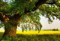 Framed Print - Large Oak Tree in the English Countryside (Scenic Picture Art)