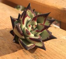 Rare succulent, Echeveria agavoides ebony 10 seeds