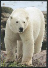Hudson Bay Polar Bear, Manitoba, Canada