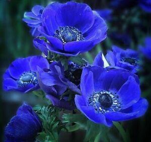 Anemone de Caen Blue Poppy 30 seeds