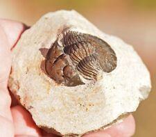 Trilobite Fossil, Scabriscutellum sp, from Morocco #3