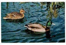 Mallard Drake & Duck - Bird Postcard