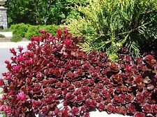 Dragon's Blood Sedum  1-Live Cutting Beautiful Red Flowers 🌺