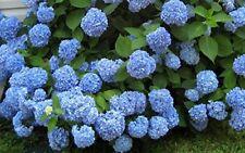 Nikko Blue Hydrangea - Live Plant - Shipped 2 Feet Tall