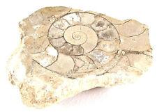 Ammonite Harpoceras & Hildoceras slice 170 million years old Jurassic period