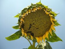 🌻Giant Sunflower🌻''Helianthus annuus''🌻10-Finest Seeds🌻UK Seller*