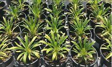 "Madagascar Palm - 1 Starter Plant 4"" Tall - Ship in 3"" Pot"