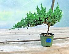 "Juniper Bonsai 15 - Prebonsai, 4"" Pot, Windswept Style, Exc Canopy & Trunk Line!"
