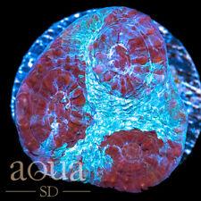 New listing Asd - 038 Wacky Fruit Chalice - Wysiwyg - Aqua Sd Live Coral Frag