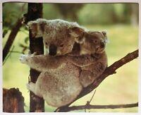 Koala Bears in Tree Lithograph Poster Print Vintage Wall Art New NoS VTG 1982