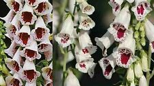 "300 Samen Digitalis purpurea "" Pam`s Choice "" - Fingerhut"