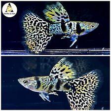 1 Female- Premium Grade Live Guppy Fish Fancy Yellow Tiger King Cobra VIP USA