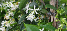 3 White Jasmine Vine, Rooted cuttings HIGHLY FRAGRANT Plant / Bush / shrub