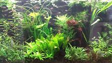 5 Bunde(1,90€/Bund) Gemischte Aquariumpflanzen, Hintergrund Set, gemischte Arten