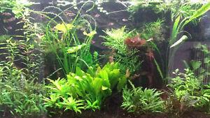 Aquariumpflanzen Set 5 XXL Bunde, Aquarienpflanzen, Wasserpflanzen, Dicke Bunde