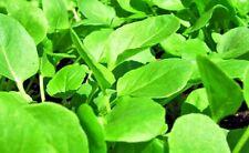 Herb cress Lepidium sativum broadleaf. seeds plenteous from Ukraine